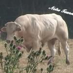 Roger_Notre taureau